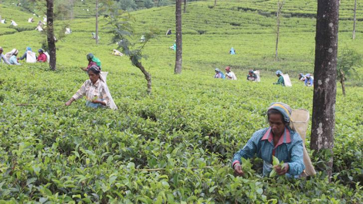Several workers of the Kotagala tea estate resume work yesterday.