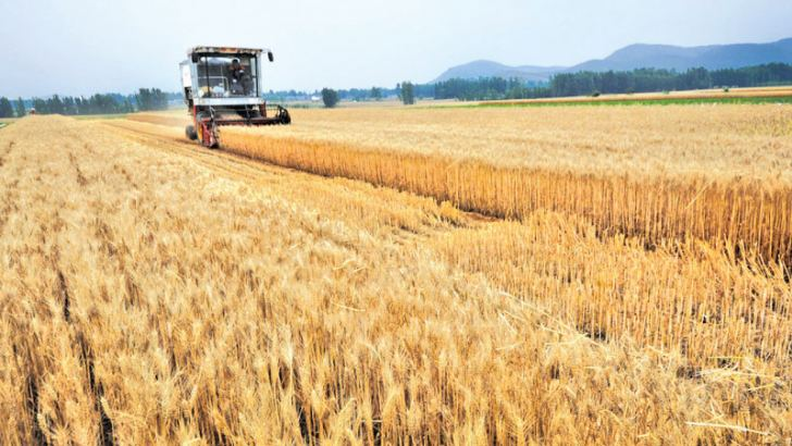 China's grain output remained strong despite the decline, and per unit yield has improved thanks to favorable weather conditions. Photo/IC