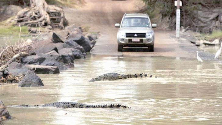 Crocodiles hunt for mullet as they spill over the causeway in Queensland in the wake of the floods.