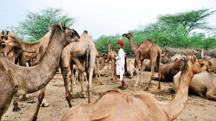 The camel has once again become  relevant to the people of Rajasthan.