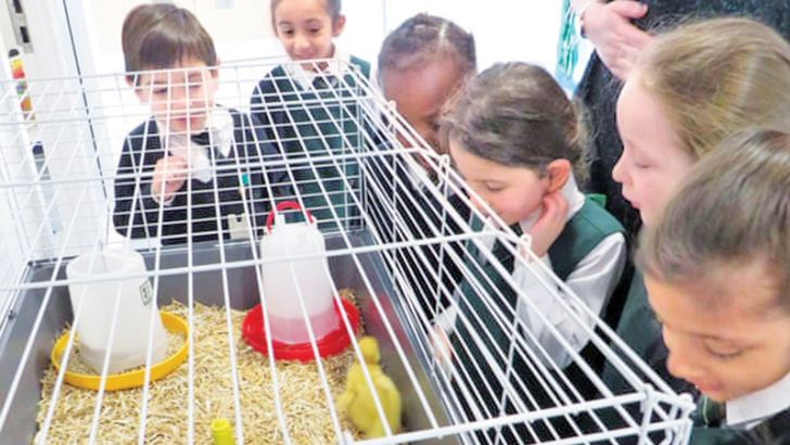 Derby primary children have watched their ducklings hatch and grow. Their teacher says the project has helped them learn about animals' needs and how to care for them.