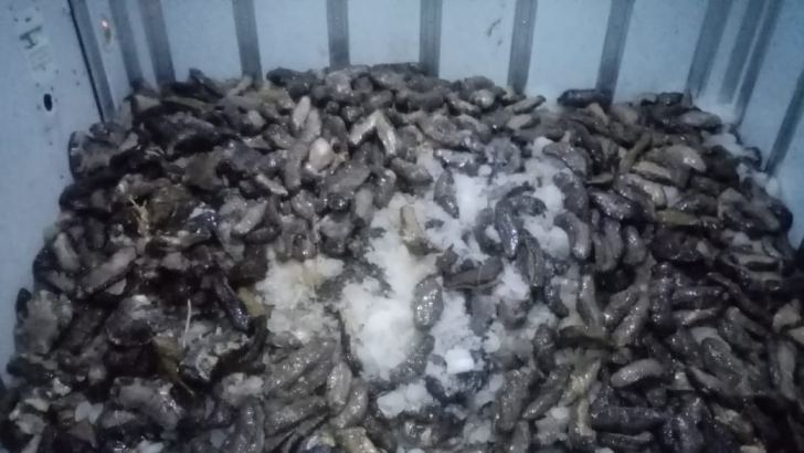 Illegally harvested sea cucumber held at Kudawella fishery harbour