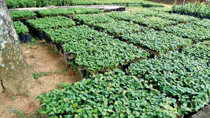 A new cinnamon nursery set up by the National Cinnamon Research and Training Station. Picture by P.P.G. Sugathadasa, Thihagoda Group Corr.