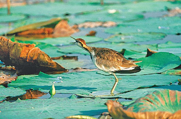 The Jakana bird lives on floating vegetation in wetlands such as water lilies. Picture by Sanjiv De Silva, IWMI.