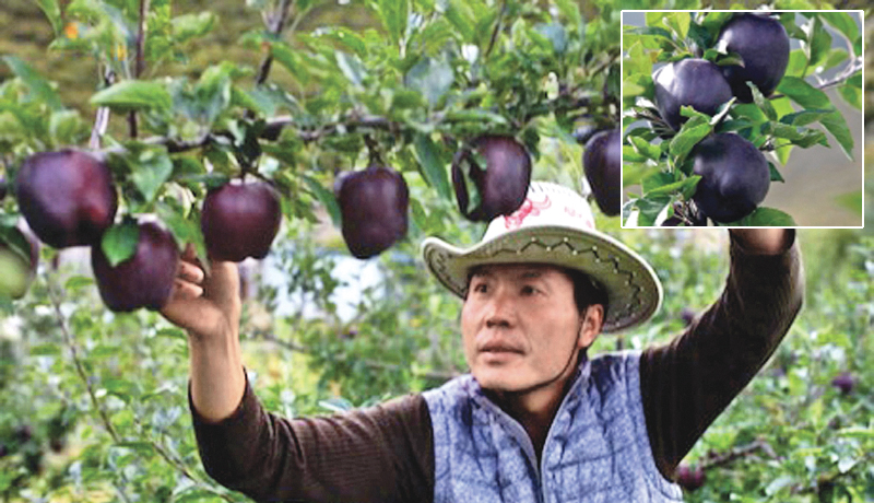 the-black-diamond-apple-grown-in-the-mountains-of-tibet