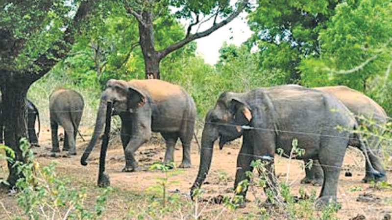 A herd of wild elephants attempting to break through an electric fence. Picture by Nimal Wijesinghe, Anuradhapura Additional District Group Corr.