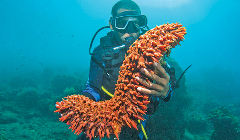 A diver with a huge sea cucumber