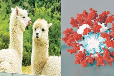These special llama antibodies, called nanobodies, are much smaller than human antibodies.