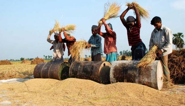 Traditional rice harvesting in South Asia