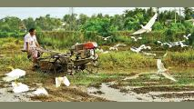 With the Government's call to rejuvenate agriculture, this woman farmer in Madiwela uses a hand tractor to plough a previously fallow paddy field. Picture by Hirantha Gunathilaka