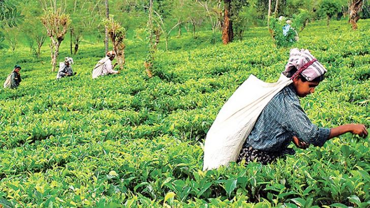 Weed management in tea becoming difficult.