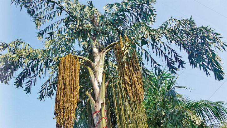 A Kithul tree from which jaggery and treacle are obtained
