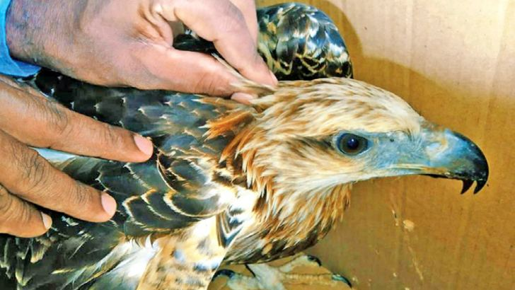The rescued Crested Hawk Eagle.