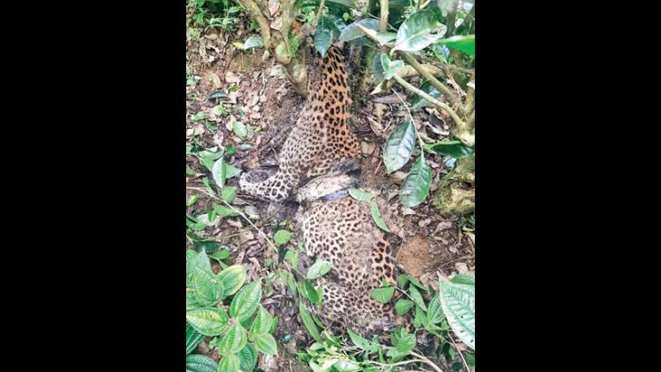 The leopard carcass in the trap